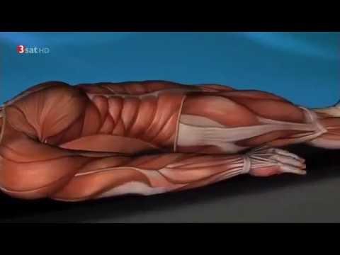 Testosteron und Muskeln