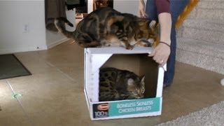 Crazy Cats That Love Box Rides