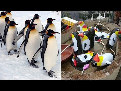 Download Youtube: Chinese motorist drives across frozen river to avoid toll; China zoo fake penguins - Compilation