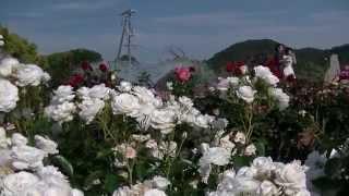 よしうみバラ公園【今治市吉海町】2015・5・24