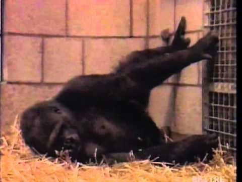 Gianclaudio Lopez: Nascita di una baby Gorilla al libero parco di Appenheul RAI Geo 1992