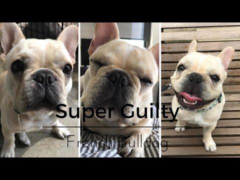 SUPER GUILTY FRENCH BULLDOG
