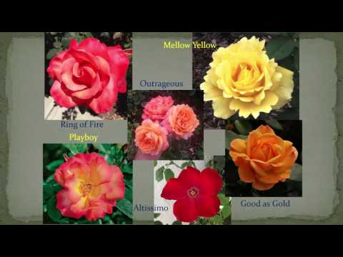 Breeding Fragrance in Roses - Tom Carruth, 09/21/2016