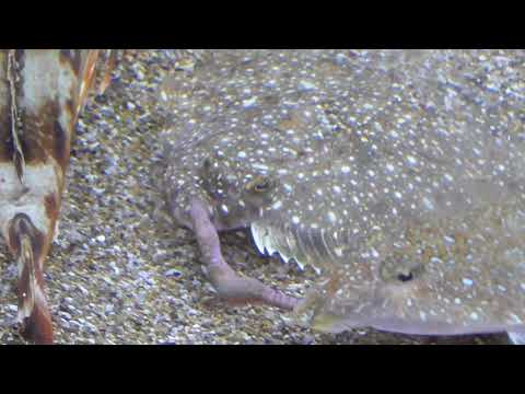 カレイとネズミゴチが青イソメの争奪戦