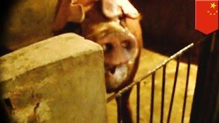 Pig farmer, pinatay at kinain ng alaga niyang baboy!