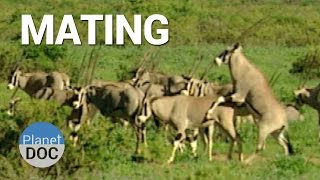 Mating. Shaba Animals  | Nature - Planet Doc Full Documentaries