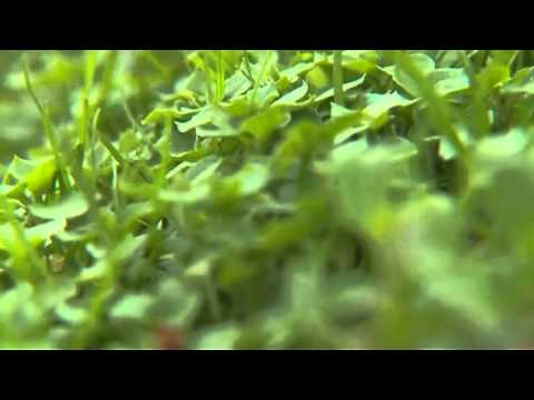 Былинная трава
