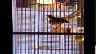 Suara Kicau Burung Sikatan Gacor Masteran