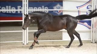 FOR SALE Conradeva (Conrad de Hus x Quouglof Rouge*) 4yrs old selle francais stallion