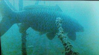 величезні коропи зимують на великій глибині. підводні відео зйомки