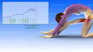 La souplesse : bases neurophysiologiques (2/2)