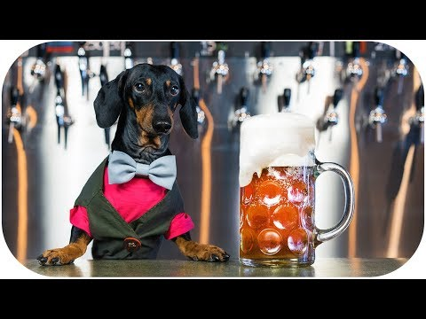 What if DOG is BARTENDER? Funny and crazy animal video!
