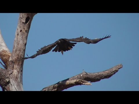 SWFL Eagles_Happy 11 Week B-Day E9~Fly~Dissect Trees~Claim Your Fish 03-18-17