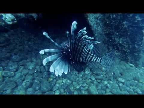 Aslan balığı Akdeniz'de - TÜDAV