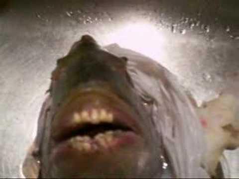 Fish with human like teeth youtube for Pacu fish teeth