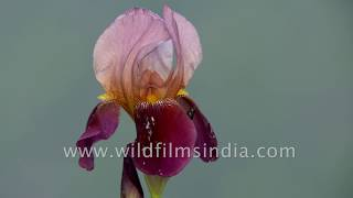 Himalayan forest and Jaonli peak time lapse in spring-time Iris season at wildfilmsindia sanctuary