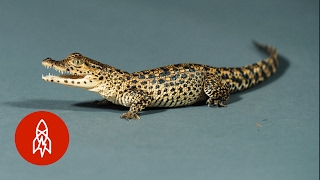 The Cuban Crocodile Crawls for Coexistence