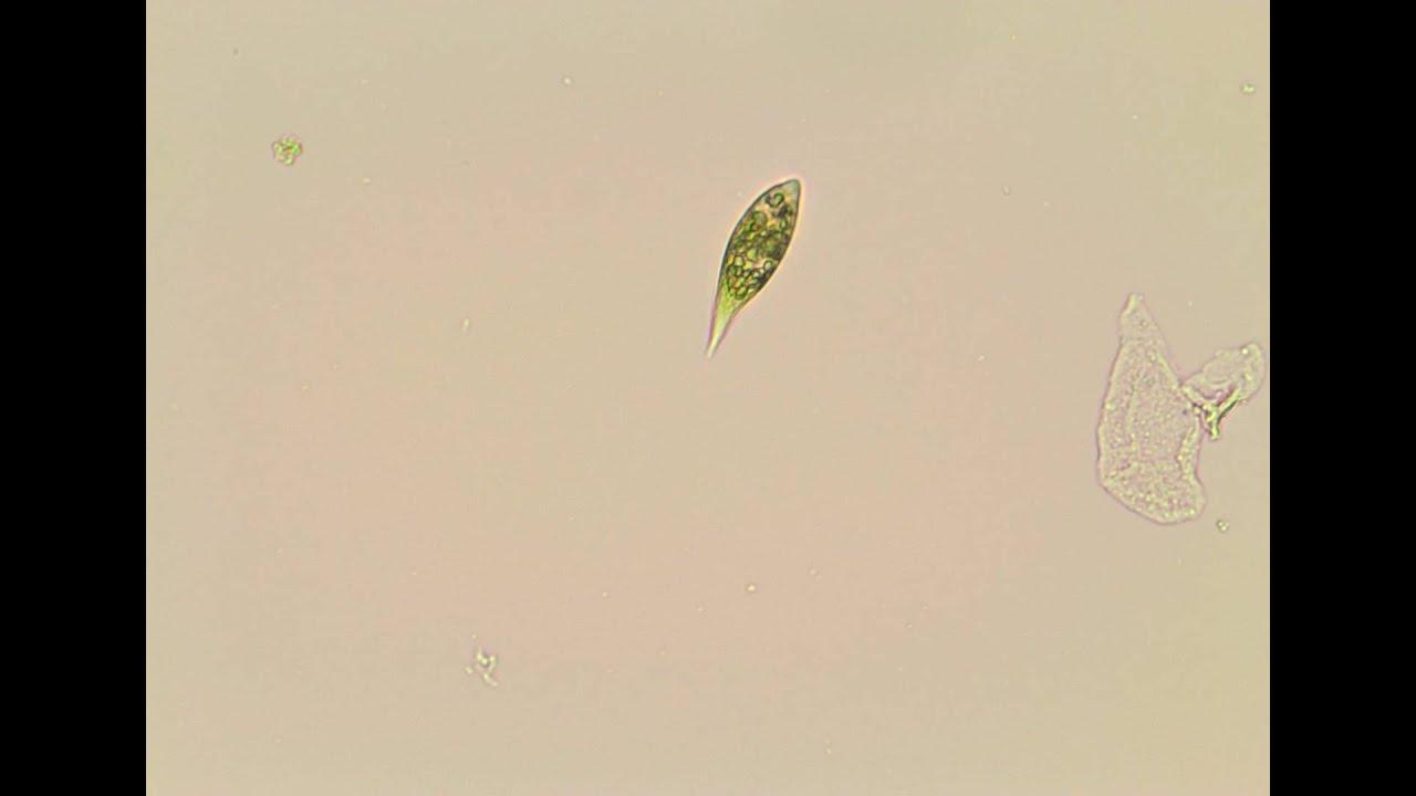 Under the microscope euglena youtube under the microscope euglena ccuart Gallery