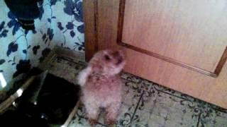 Мальчик научил собаку петь