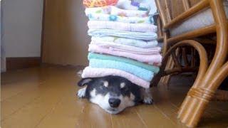 柴犬 黒柴クロ 頭の上にタオルを乗せます Shiba Inu Kuro How Many Towels Will Ride? thumbnail