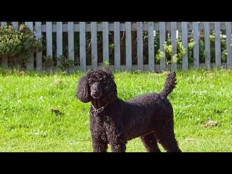 7 types of Poodles