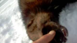 A Wolverine up close