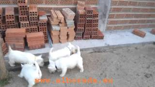 Cachorros Westie Alborada Nacidos El 3-10-11