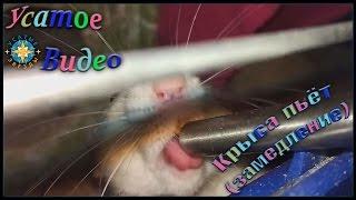 Крыса пьет (Замедленная съемка).