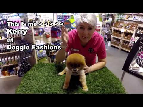 Cilla The Pom and Kerry Demonstrate the Buddy Belt Dog Harness