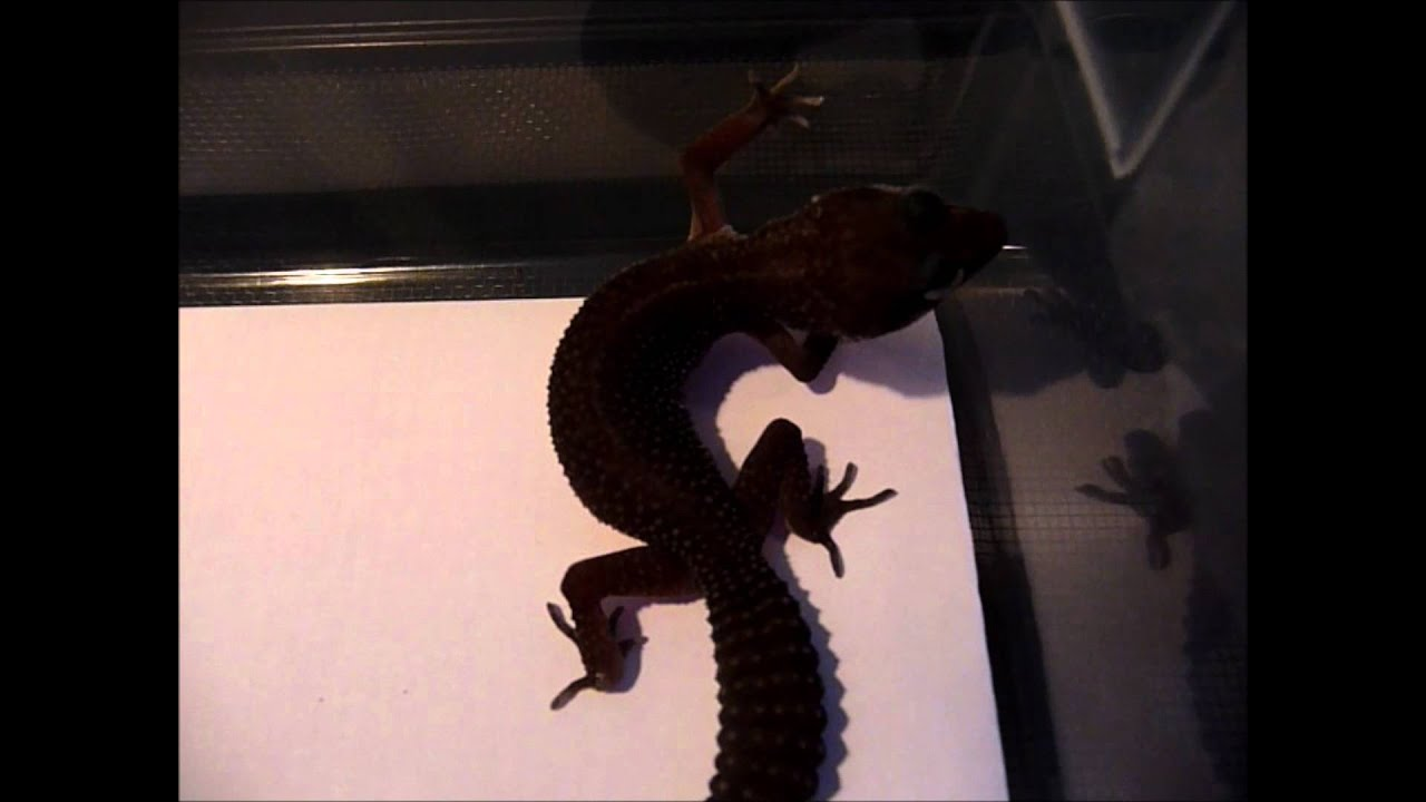 A Closer Look at my Black Leopard Gecko - YouTube - photo#1