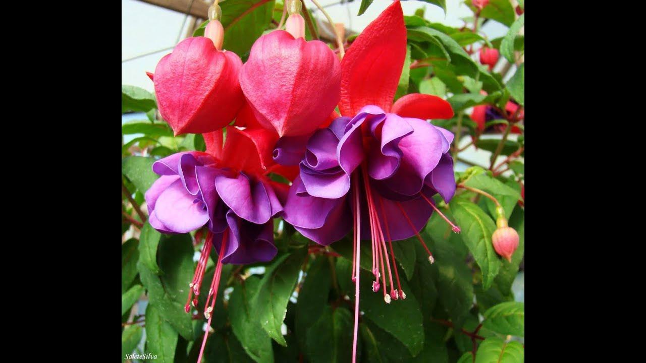 Mondini plantas como cultivar brinco de princesa youtube for Como cultivar plantas ornamentales