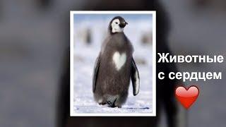 """""""Сердечный"""" окрас  кошек, собак и других животных / animals with a heart"""