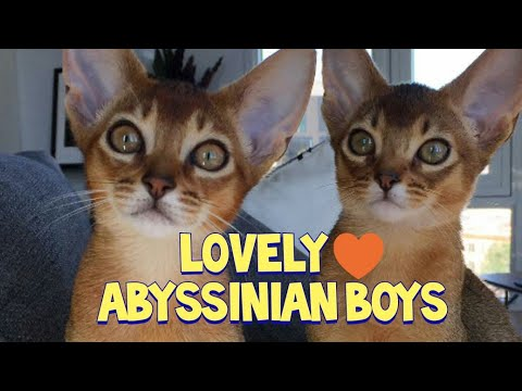 Lovely Abyssinian Cat Brothers :  Gato Abisinio