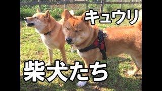 2017年2月23日(木)まんが書籍「ドヤ顔 柴犬どんぐり」発売! https://ww...