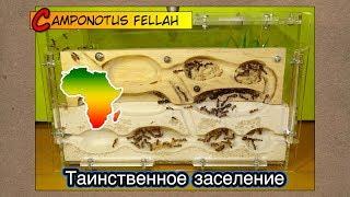 Таинственное заселение Африканских гигантов ● Camponotus fellah