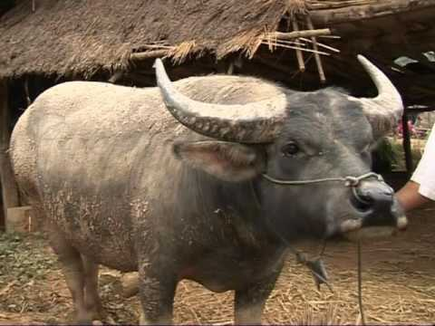 CIAT Asia   Cattle and Livesock fattening with forages in Laos