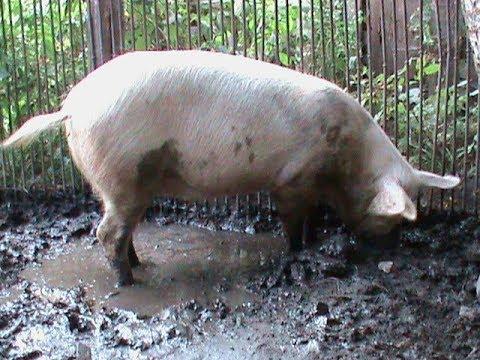 Вес большой белой свиньи в год / Weight Of A Large White Pig Per Year