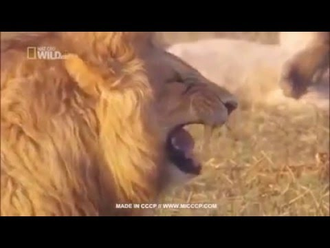Laughing lion funny