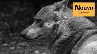 Just how protected are wolves? thumbnail