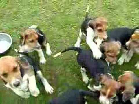 Old English Foxhound Pups 4