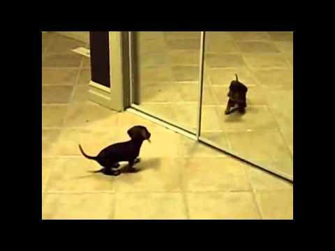 Такса видео (dachshund video) -