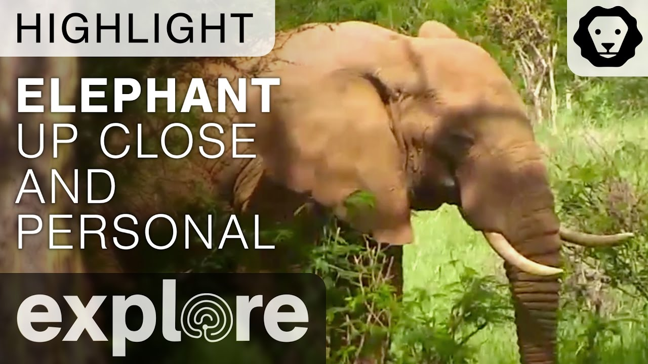 African Elephant Up Close and Personal - Live Cam Highlight