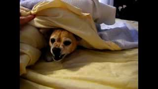 Cranky Chihuahua in the morning