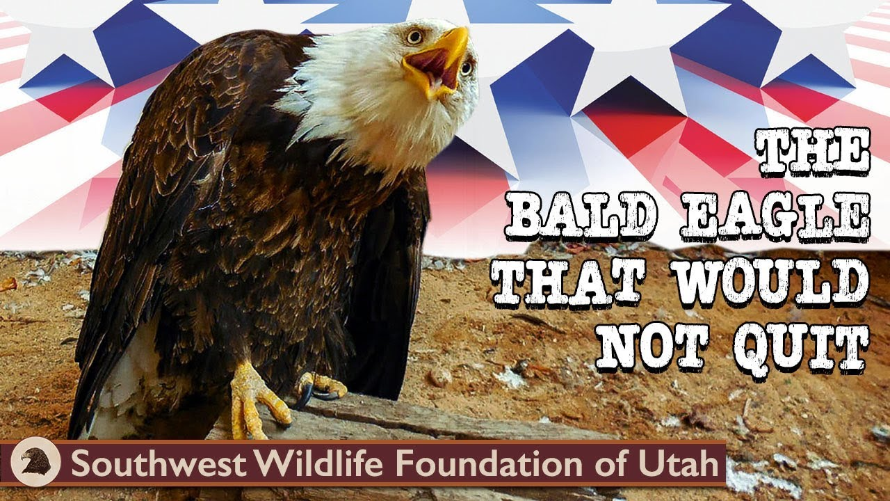 The Bald Eagle That Would Not Quit Bald Eagle Rescue Short Film Wildlife Documentary Youtube