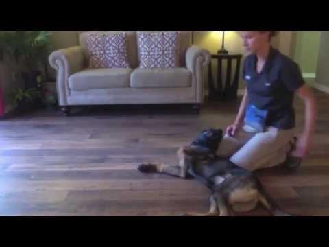 How to teach your dog to play dead | Havok the German Shepherd puppy | Amy Glunn | Valor K9 Academy