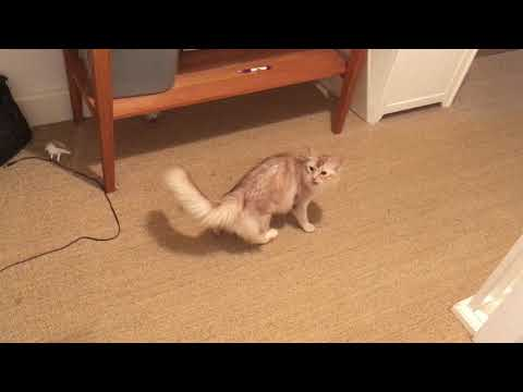 Somali cat playing with feather!