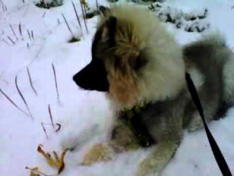 Keeshond puppy playing in snow