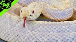 Purple RATTLESNAKE!?!