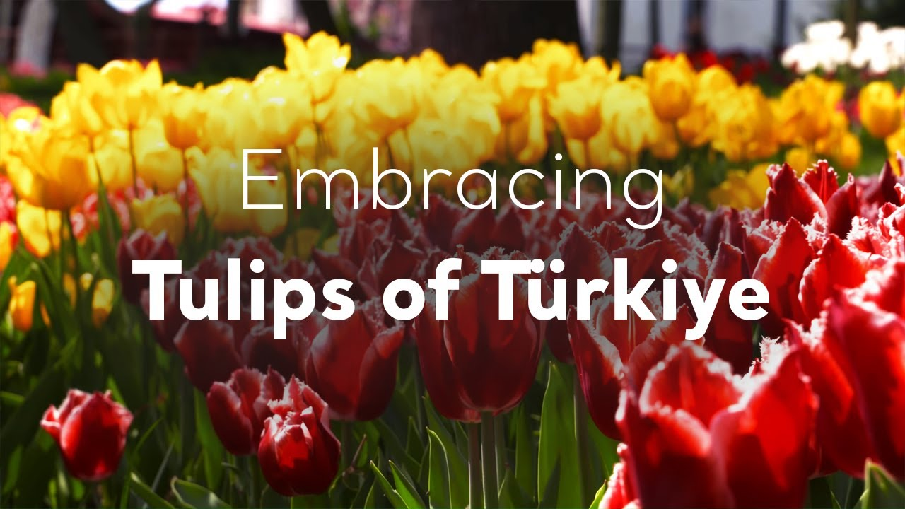Go Turkey - Embracing Tulips of Turkey