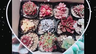 [황금정원 Golden garden, 다육식물 키우기 succulent plant rearing] 예쁘게 물…